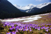 Crocuses in Chocholowska valley, Tatra Mountain, Poland — Stockfoto