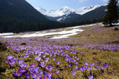 Crocuses in Chocholowska valley, Tatra Mountain, Poland — Zdjęcie stockowe