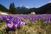 Crocuses in Chocholowska valley, Tatra Mountain, Poland — Stock Photo