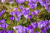 Krokusse in chocholowska tal, tatra, polen — Stockfoto