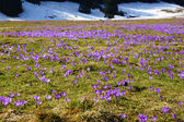 Crocuses in Chocholowska valley, Tatra Mountains, Poland — Стоковое фото