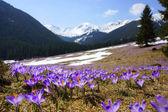 Crocuses in Chocholowska valley, Tatra Mountains, Poland — Foto de Stock