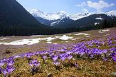Crocuses in Chocholowska valley, Tatra Mountains, Poland — Stockfoto
