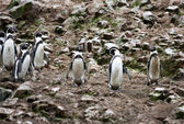 Humboldt Penguin in the island Ballestas, Paracas National Park in Peru. — Stock Photo