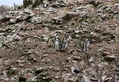 Humboldt Penguin in the island Ballestas, Paracas National Park in Peru. — Stockfoto