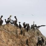 Pelicans on Ballestas Islands, Paracas National park in Peru — Stock Photo #42273085