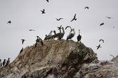 Pelicans on Ballestas Islands, Paracas National park in Peru — Stock Photo