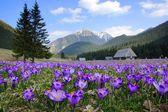 Crocuses in Chocholowska valley, Tatra Mountains, Poland — Stock Photo