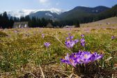 Crocuses in Chocholowska valley, Tatra Mountains, Poland — Stockfoto