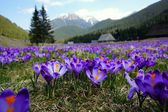 Crocuses in Chocholowska valley, Tatra Mountains, Poland — Stock Photo