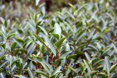 Tea platnation in Fujian Province, China — Stock Photo