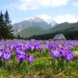 Crocuses in Chocholowska valley, Tatra Mountains in Poland — Stock Photo #47686119
