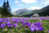 Crocuses in Chocholowska valley, Tatra Mountains in Poland — Stock Photo