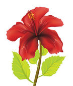Red hibiscus — Stock Vector
