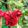 Stock Photo: Wet red roses