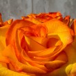 Orange roses — Stock fotografie