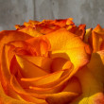 rosas laranja — Foto Stock