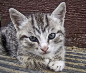 Gray striped kitten — Stock Photo