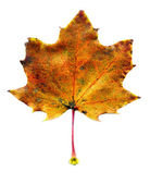 Maple fall leaf — Stock Photo