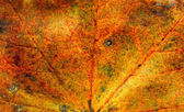 Fall maple leaf texture — Stock Photo