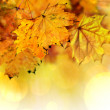 Fall maple leaves — Stock Photo