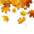 Falling maple leaves — Stock Photo