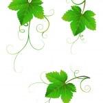 Grape leaves — Stock Vector #33583899