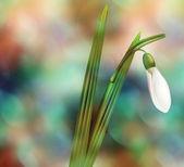 Dreamy Snowdrop — Stock Photo
