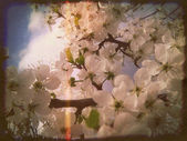 White Plum Blossoms — Stockfoto