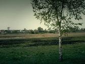 Birch on Meadow — Stock Photo
