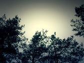 Větev borovice — Stock fotografie