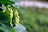 Fresh green hops — Stock Photo