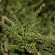 Spruce branch — Stock Photo #33916317