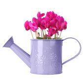 Cyclamen in purple watering can — Zdjęcie stockowe