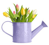 Tulips in watering can — Stock fotografie