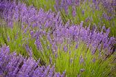 Lavander květiny — Stock fotografie