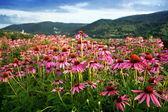 Echinacea flower field — Stock Photo