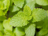 Fresh mint herb — Stock Photo