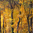 Yellow Autumn Woods — Stock Photo #13953739