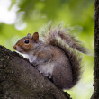 Squirrel Sitting Calmly on Tree before Green Leaves Facing Left — Stock Photo