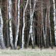 Edge of Birch Wood at Meadow — Stock Photo