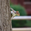 Squirrel Clings to Tree — Stock Photo