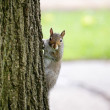 Squirrel Watches from Tree — Stock Photo