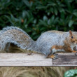 Cute Squirrel on a Wooden Board — Stock Photo