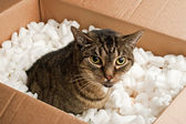 Annoyed cat in cardboard box of packing peanuts — Stock Photo