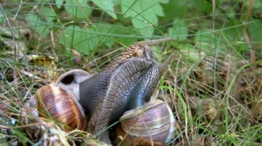 Two snails make contact — Stockvideo
