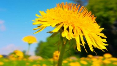 Yellow dandelion close up shot 1 — Vidéo