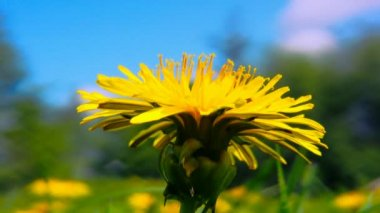 Yellow dandelion close up shot 2 — Vidéo