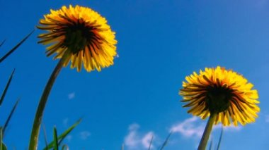 2 Yellow dandelion flowers close up shot 4 — Vídeo de stock