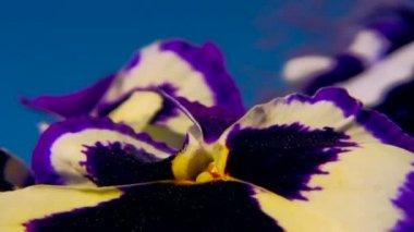 Close-up shot of viola cultivar flower 3 — Stock Video